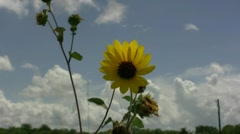 Sunflower On Hill Georgetown Texas Stock Footage
