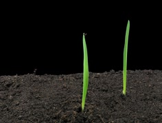 Time-lapse of growing oat seeds 1 (Film 2K) Stock Footage