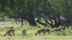 Spotty deer Stock Footage