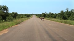 Kruger Roads Impala crosses GFHD Stock Footage