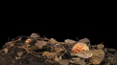 Time-lapse of growing fly agaric mushromm 10a (Film 2K) Stock Footage