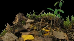 Time-lapse of growing chanterelle mushroom 2a (Film 2K) Stock Footage