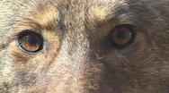 Stock Video Footage of Coyote Eyes