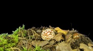 Time-lapse of growing fly agaric mushromm 8a (DCI-2K) Stock Footage