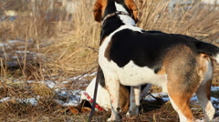 Beagle dogs playing - stock footage