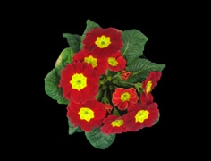 Time-lapse of growing primula Primasan, top view 1b (Film 2K) Stock Footage