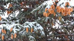 Snow-covered fir with cones and snow Stock Footage