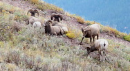 Stock Video Footage of Bighorn sheep in Glacier National Park