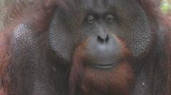 orangutan - stock footage