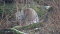 Lynx closeup cleaning fur behind bush Footage