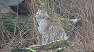 Stock Video Footage of Lynx shaking hands and looking to camera