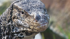 Monitor lizard Stock Footage