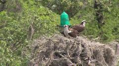 Osprey Nest Stock Footage