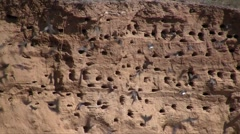 Sand martin (Riparia riparia) breeding colony in the abandoned sand pit wall Stock Footage