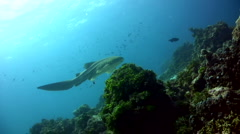 Zebra or leopard shark (Stegostoma fasciatum) swimming, close up Stock Footage