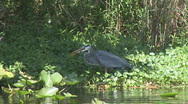 Stock Video Footage of Heron Eats Bass