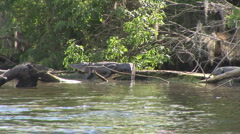 Alligator American Sunbathing Stock Footage