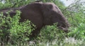 Elephant eating leaves and branches MS GFHD Footage