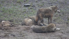 Wolves at a misty day 6354 1/2 Stock Footage