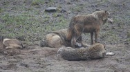Stock Video Footage of Wolves at a misty day 6354 1/2