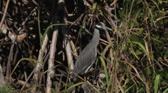 Birds_yellow crowned night heron sitting in the bushes looks at camera_h264 Stock Footage