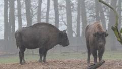 European Bisons 6371 Stock Footage