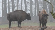 Stock Video Footage of European Bisons 6371