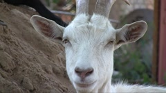 Domestic she-goat (Capra aegagrus hircus) resting in the trees shadow in the mid Stock Footage