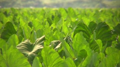 Taro Leaves closeup - stock footage