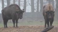 European Bisons 6377 Stock Footage