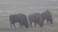 European Bisons 6404 Stock Footage