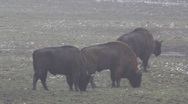 European Bisons 6405 Stock Footage