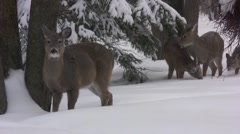 Whitetail Deer foraging in winter Stock Footage