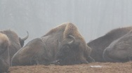 European Bisons 6414 Stock Footage