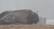 European Bison 6416 Stock Footage