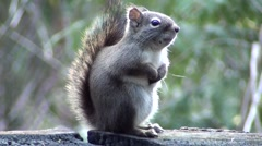 Squirrel Vancouver Island (2).m2ts - stock footage