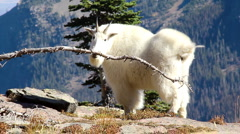 Mountain goat in Glacier National Park Stock Footage