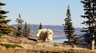 Stock Video Footage of Mountain goat in Glacier National Park