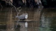White-Throated Dipper (Cinclus cinclus) Stock Footage
