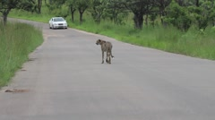 Cheetah Walking down road in the Kruger National Park GFHD Stock Footage