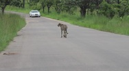 Stock Video Footage of Cheetah Walking down road in the Kruger National Park GFHD