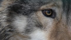 Wolf's Eye extreme Close Up 6444 Stock Footage
