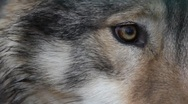 Stock Video Footage of Wolf's Eye extreme Close Up 6444