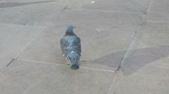 Feral Pigeon looking for scraps on grey urban pavement, Stock Footage