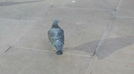 Stock Video Footage of Feral Pigeon looking for scraps on grey urban pavement,