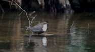 Stock Video Footage of White-Throated Dipper (Cinclus cinclus)