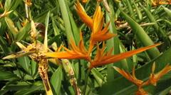 Bird of Paradise Flower in Garden  Stock Footage
