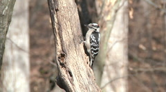 Hairy Woodpecker Stock Footage