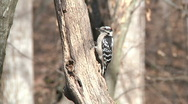 Stock Video Footage of Hairy Woodpecker
