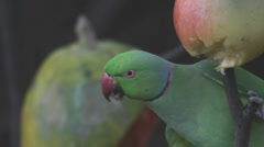 Green parrot Stock Footage